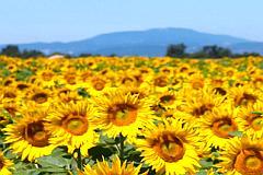 floarea soarelui cultura bio