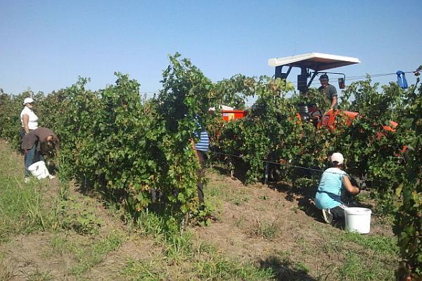 recoltarea strugurilor din vie ecologica