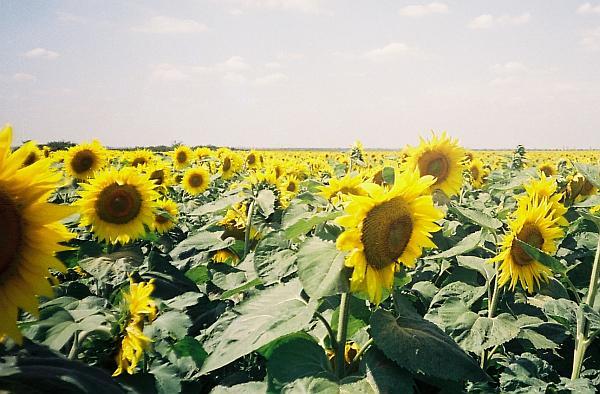 agricultura ecologica floarea soarelui